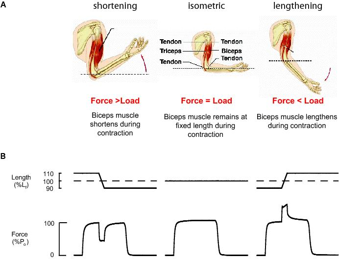 temperature and force velocity relationship of human muscles functions