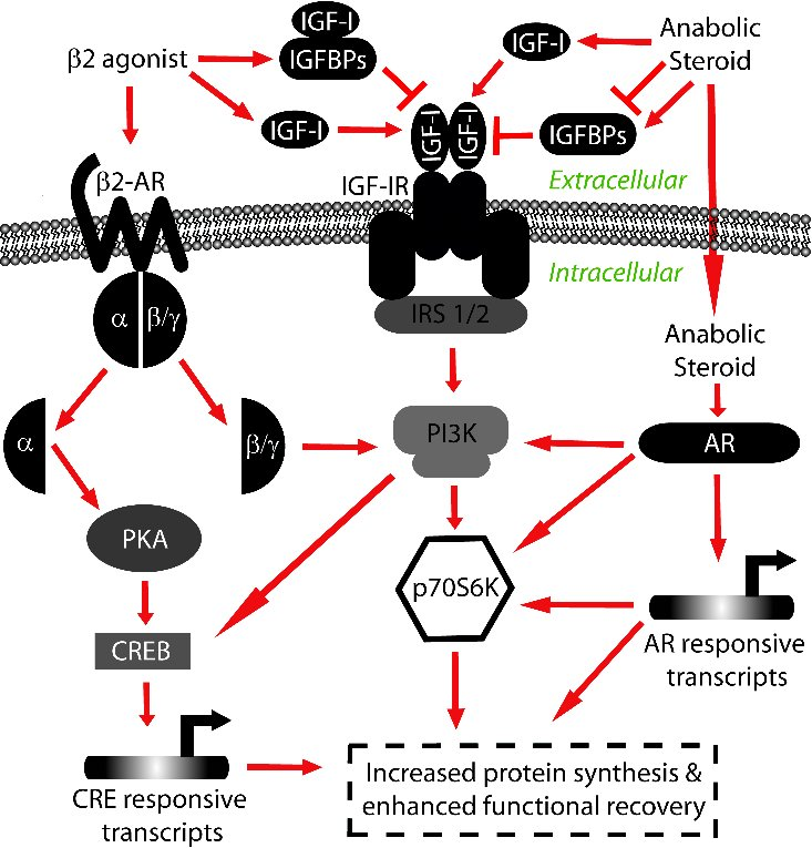 Corticosteroids Mechanism of Action Mechanisms of Action of